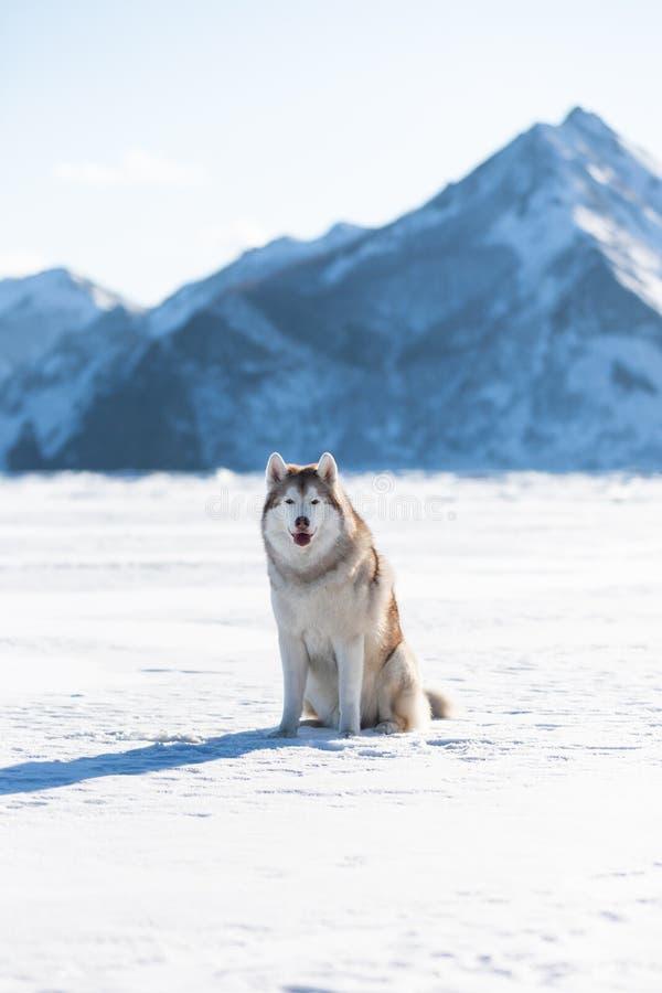 Pi?kny Syberyjskiego husky psa obsiadanie na lodowym floe na zamarzni?tym Okhotsk ?niegu i morzu nakrywa? peak&-x27; s t?o obrazy royalty free