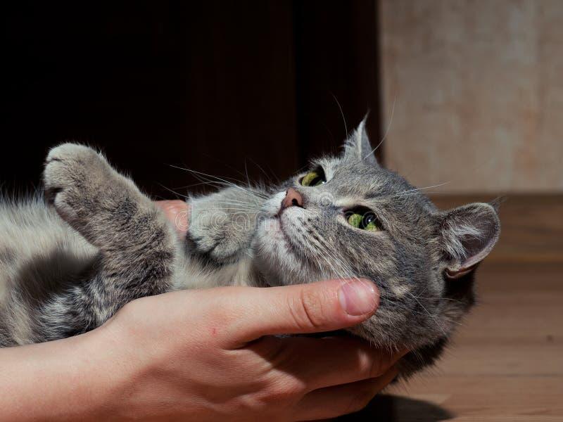 Pi?kny szary kot z czarny i bia?y lampasami bawi? si? z m??czyzn? na pod?odze Zako?czenie Kot jest zm?czony bawi? si? obrazy stock
