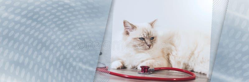 Pi?kny ?wi?ty kot Burma z stetoskopem sztandar panoramiczny obrazy stock