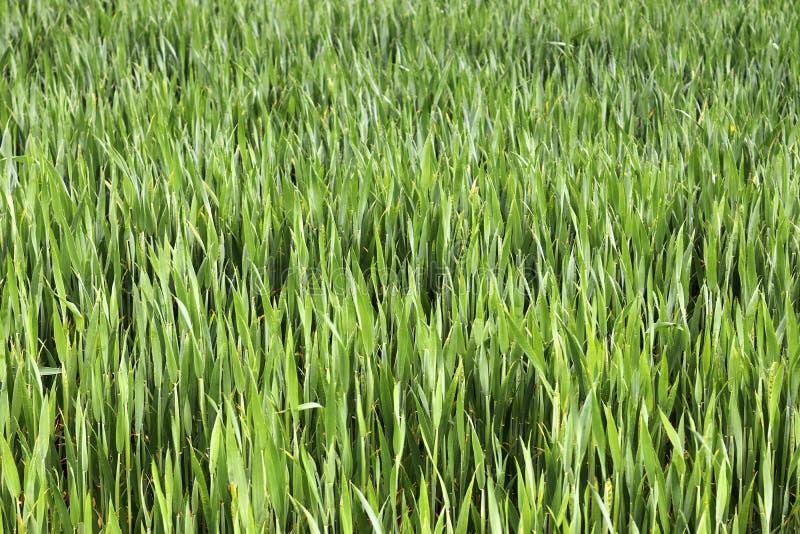 Pi?kny zako?czenie w g?r? rolniczego pszenicznego uprawy pola chodzenia w wiatrze obrazy stock