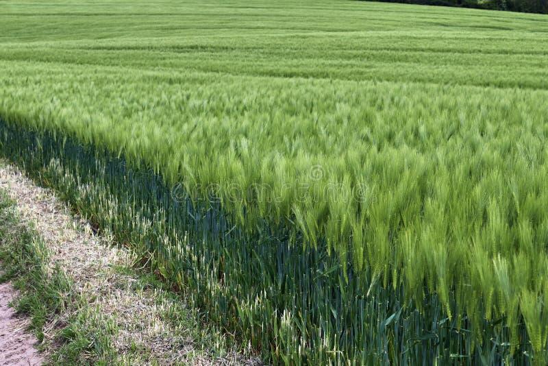 Pi?kny zako?czenie w g?r? rolniczego pszenicznego uprawy pola chodzenia w wiatrze fotografia royalty free