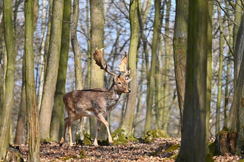 Pi?kny zwierz? w dzikim lesie w naturze Ugoru rogacza Dama dama fotografia royalty free