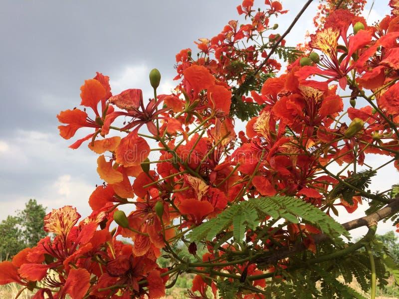 Pi?knych ornamentacyjnych kwiat?w p?omienia zwany drzewo zdjęcia royalty free