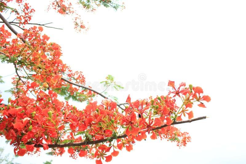 Pi?knych ornamentacyjnych kwiat?w p?omienia zwany drzewo zdjęcie royalty free