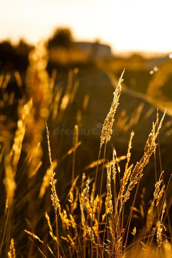 Piacevole dell'erba illuminato durante il bello tramonto fotografia stock libera da diritti