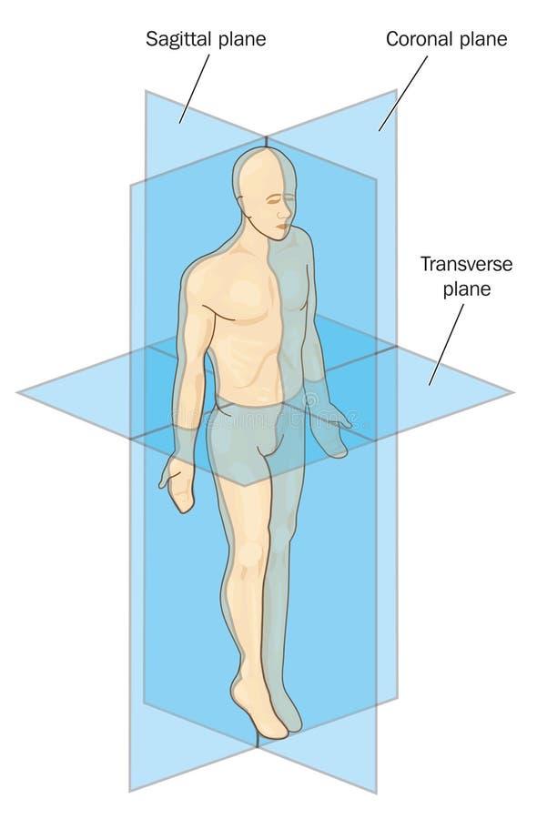 Piani anatomici della sezione illustrazione vettoriale