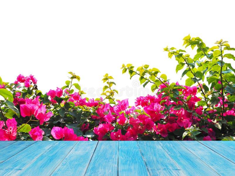 Piano d'appoggio di legno sopra il fiore rosa della buganvillea isolato fotografia stock