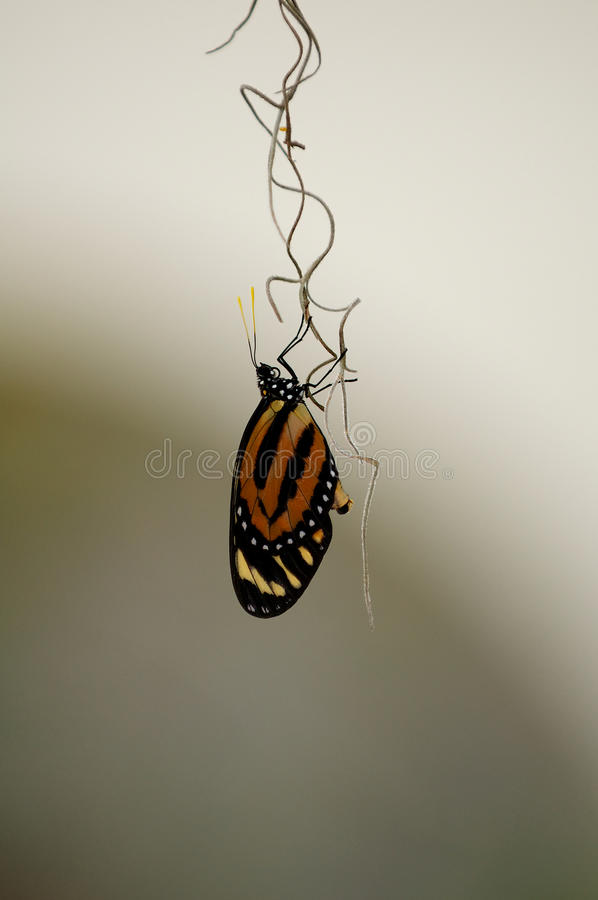 Piano Key Butterfly stock image