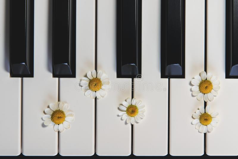Piano Keyboard and Chamomile Flowers. top View, Close Up. Romance, Concept stock photos