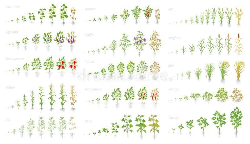Pianta agricola, animazione dell'insieme di crescita Grano del cereale di pepe della melanzana del pomodoro del cetriolo e molti  illustrazione di stock