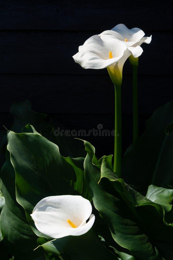 Pianta bianca della calla con i fiori su fondo nero, KE scuro fotografie stock