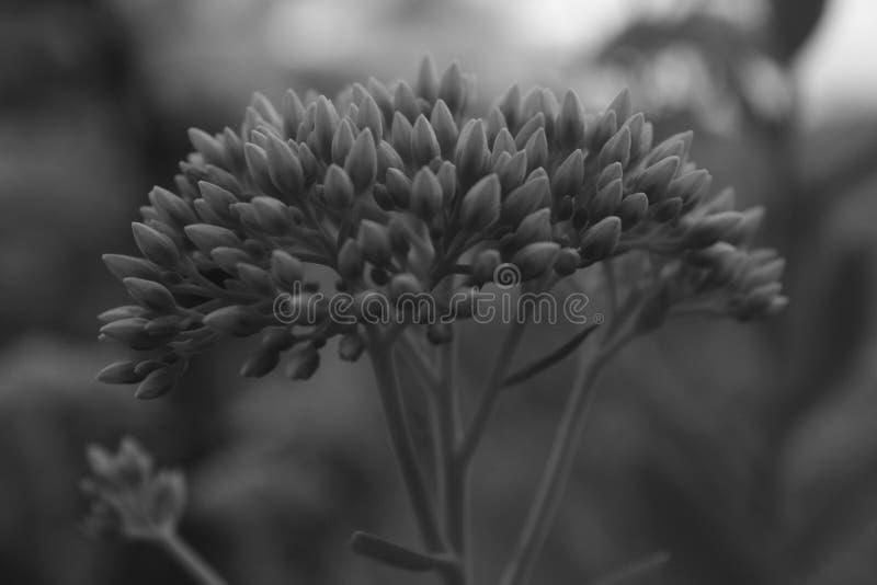 Pianta in bianco e nero fotografia stock libera da diritti