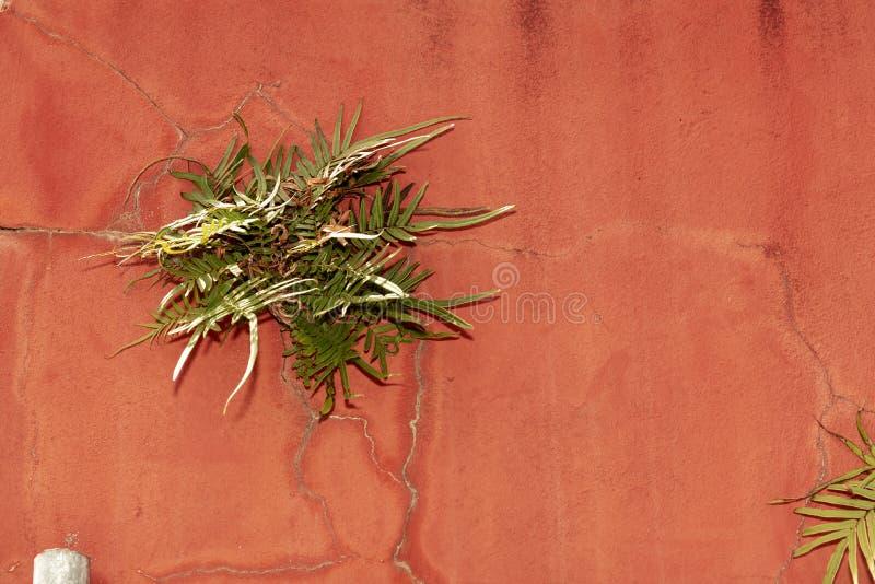 Pianta che cresce dalla parete rossa con le crepe fotografia stock