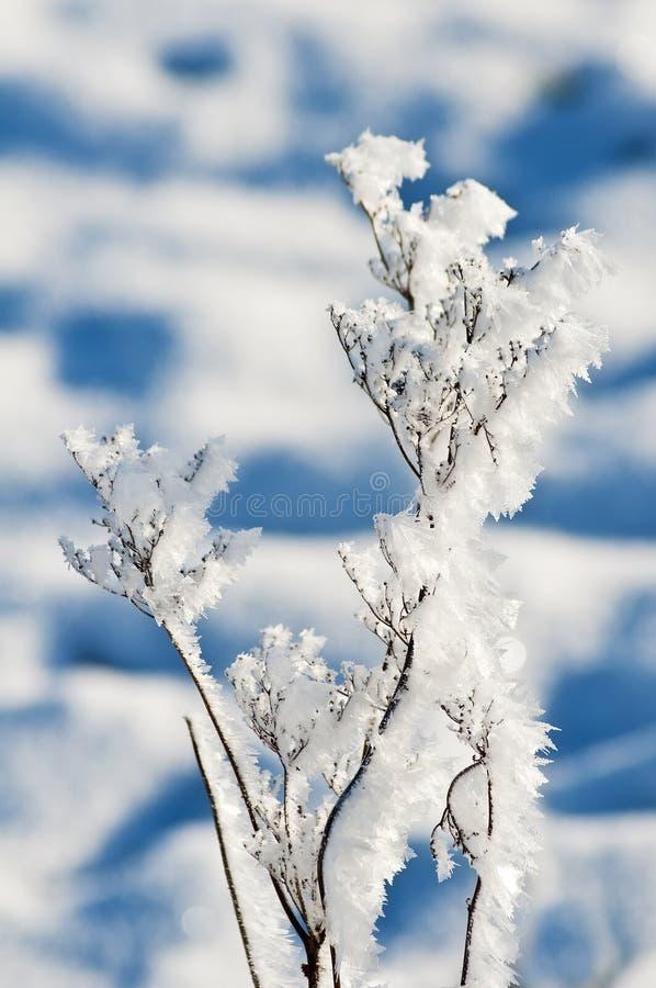 Pianta con i cristalli di ghiaccio immagine stock