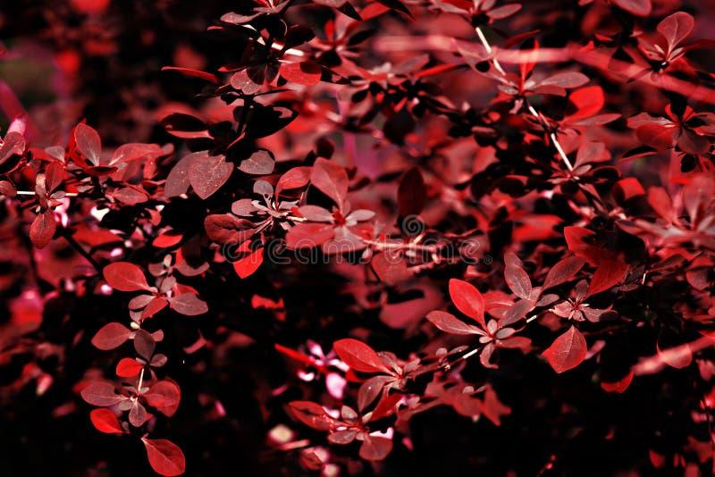 Pianta con i fogli rossi fotografia stock