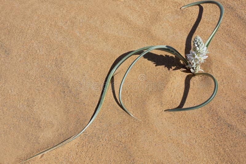 Pianta con i petali bianchi in sabbia del deserto. immagini stock libere da diritti