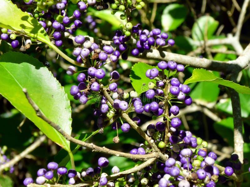 Pianta con le bacche viola immagine stock immagine di for Pianta ornamentale con bacche rosse
