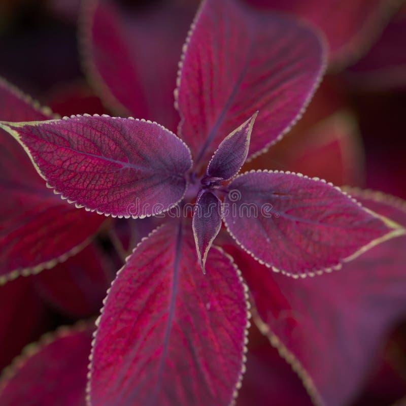 pianta con le foglie rosse fotografia stock immagine di