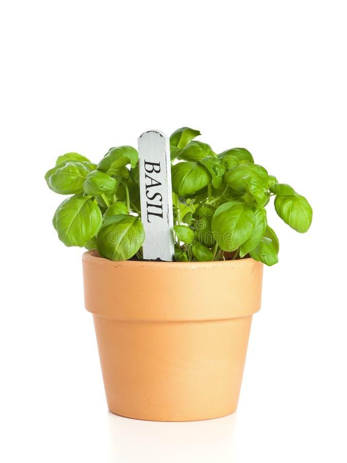 Pianta conservata in vaso del basilico con la modifica for Pianta con la i