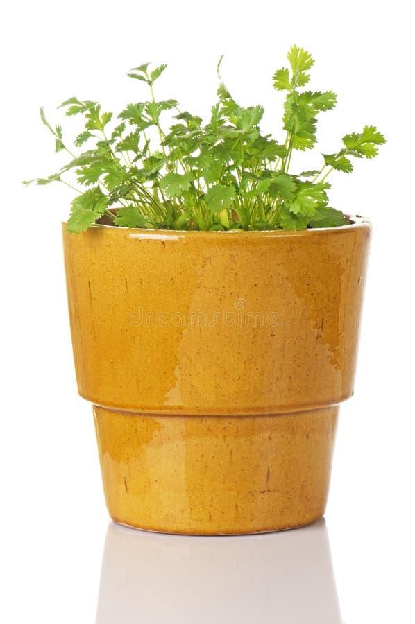 Pianta conservata in vaso del Cilantro fotografie stock