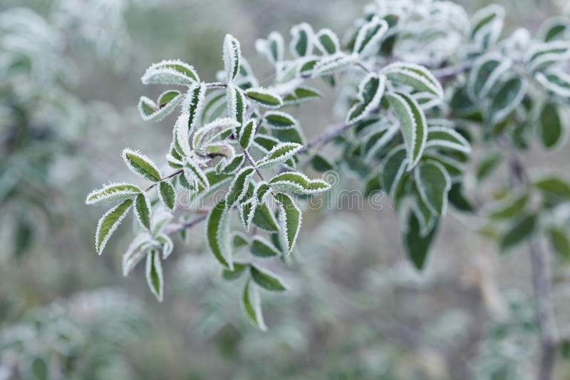 Pianta coperta di gelo, di brina o di brina nella mattina di inverno fotografia stock