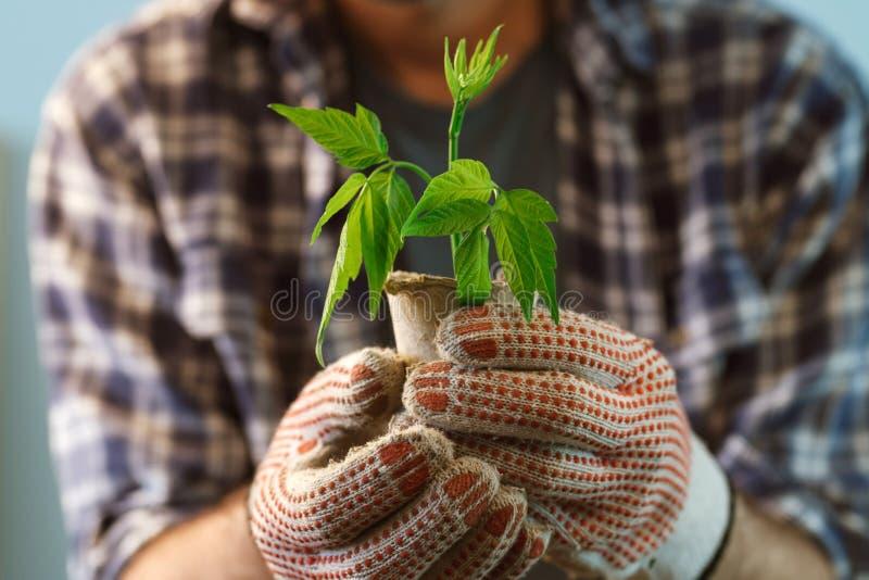 Pianta d'esame dell'agricoltore che cresce in vaso della torba immagini stock