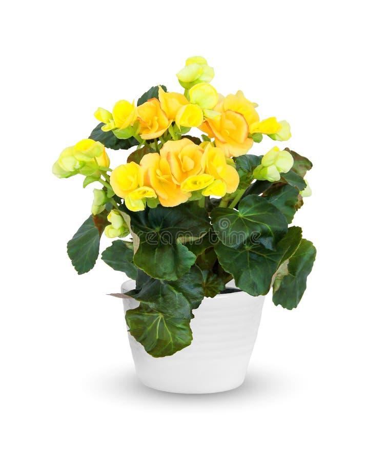 Pianta da appartamento - begonia di fioritura una pianta in vaso sopra briciolo fotografie stock libere da diritti