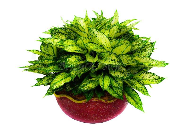 pianta da appartamento isolata delle foglie verdi immagine