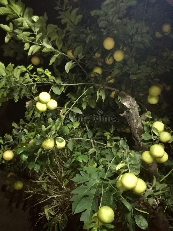 Pianta da frutto del pomelo dalla casa immagini stock libere da diritti