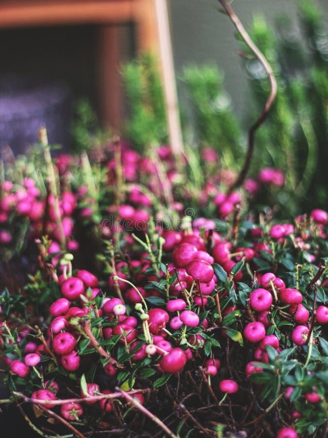 Pianta decorativa del mirtillo rosso con le bacche in autunno fotografie stock