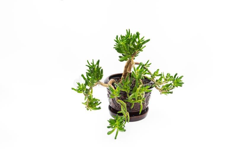 Pianta decorativa del succulente dell'albero dei soldi immagini stock libere da diritti