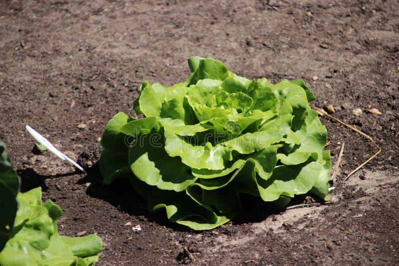 Pianta dei lattuces capi il sole di autunno che aspetta allo sviluppato a pieno l'inverno fotografia stock