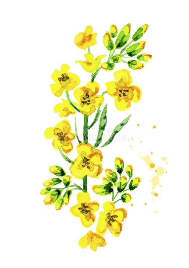 Pianta dei semi di ravizzone Illustrazione disegnata a mano dell'acquerello, isolata su fondo bianco illustrazione di stock