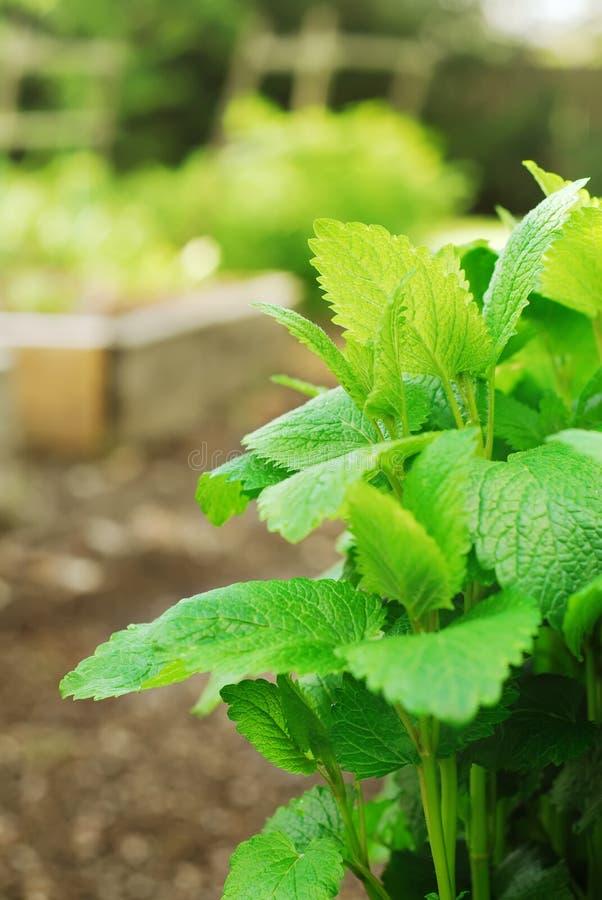 Pianta del balsamo di limone in giardino fotografie stock libere da diritti