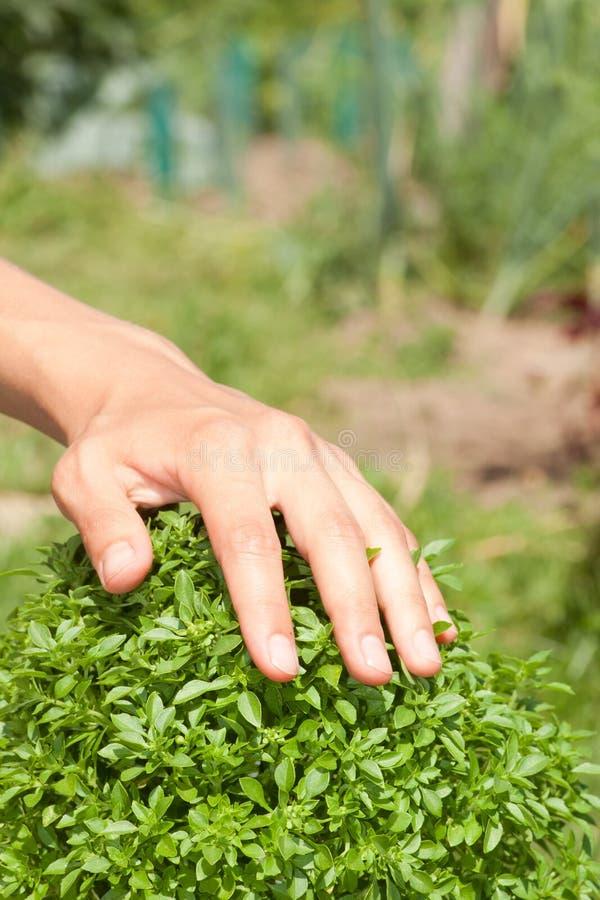Pianta del basilico e mano verdi dell'essere umano immagini stock