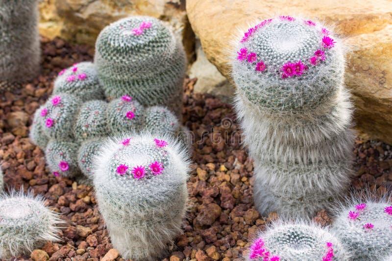 Pianta del cactus del puntaspilli con il fiore rosa fotografia stock