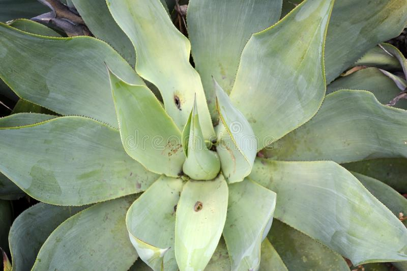 Pianta del cactus nel deserto del Messico fotografia stock libera da diritti