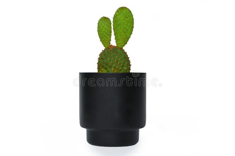 Pianta del cactus sveglio dell'opunzia Microdasys, di Angelwings, di Bunny Ears o del pois in un piccolo vaso di fiore nero isola immagini stock