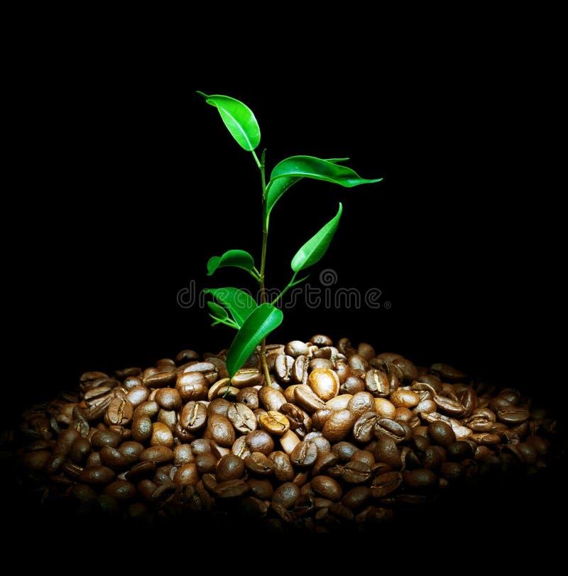 Pianta del caffè immagine stock