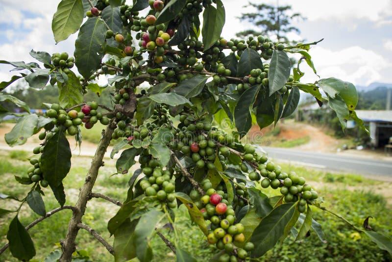 Pianta del caffè immagine stock libera da diritti