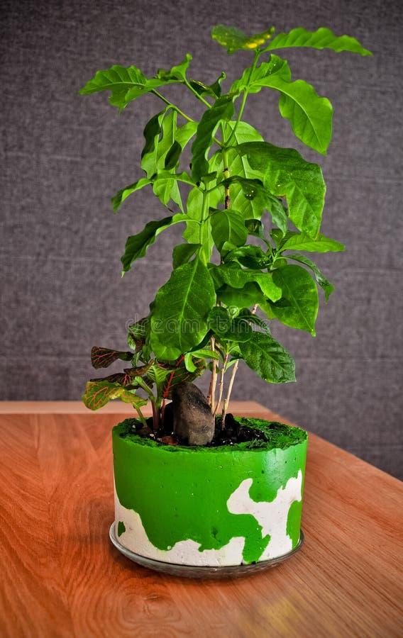 Pianta del caffè nel vaso concreto casalingo immagini stock libere da diritti