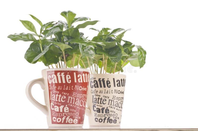 Pianta del caffè in una tazza fotografia stock libera da diritti