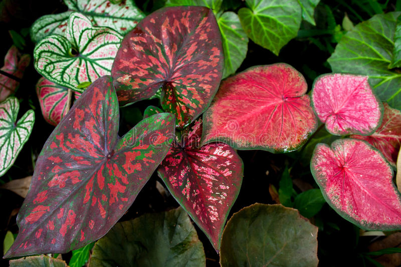Pianta del Caladium immagine stock