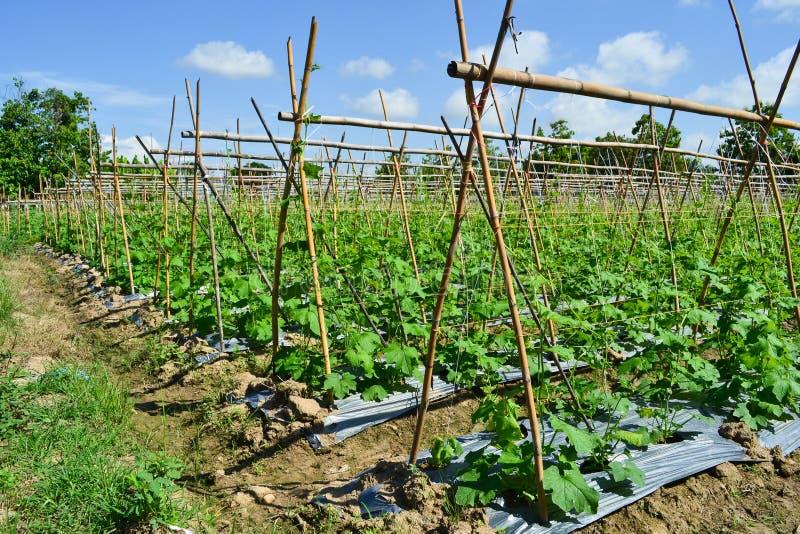 Pianta del cetriolo in giardino della Tailandia fotografia stock libera da diritti