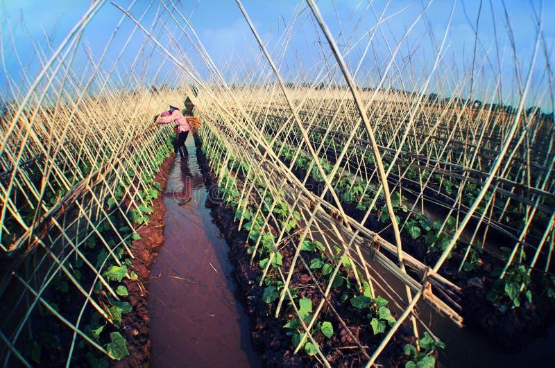 Pianta del cetriolo nella vita del Vietnam della campagna immagini stock