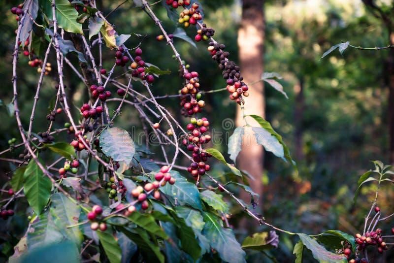 Pianta del chicco di caffè che matura con gli alberi in una piantagione in Antigua, Guatemala fotografia stock