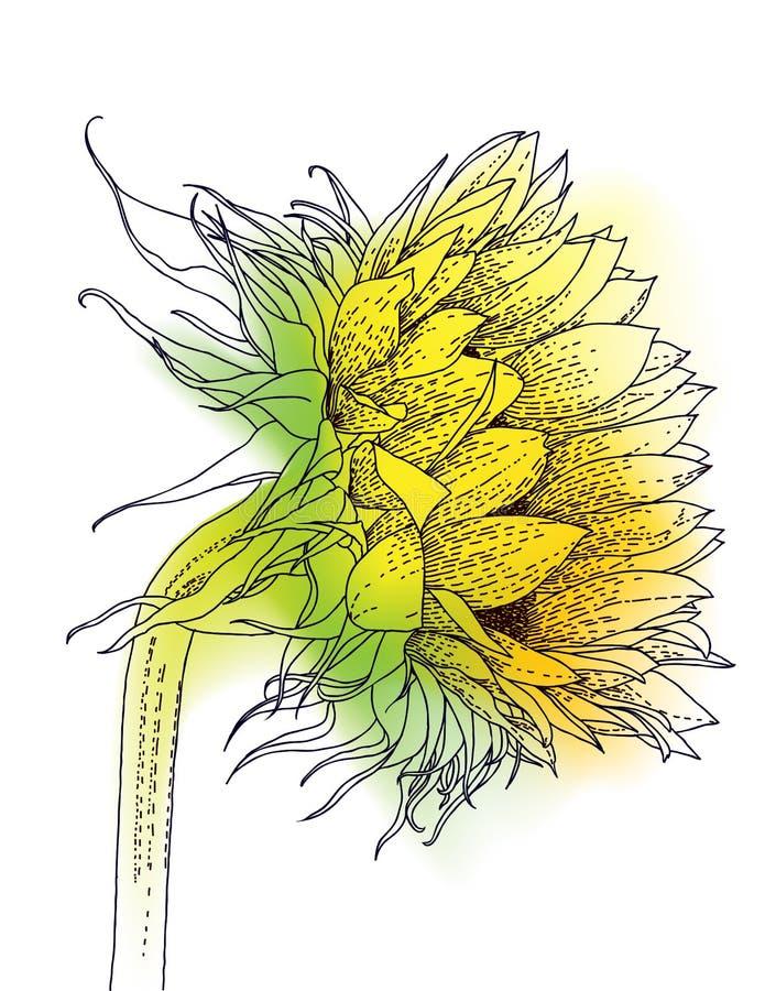 Inchiostro e girasole dell'acquerello illustrazione vettoriale