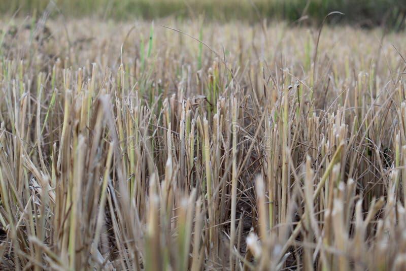 Pianta del grano del riso dopo il taglio immagini stock