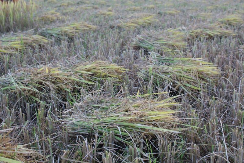 Pianta del grano del riso dopo il taglio fotografie stock libere da diritti