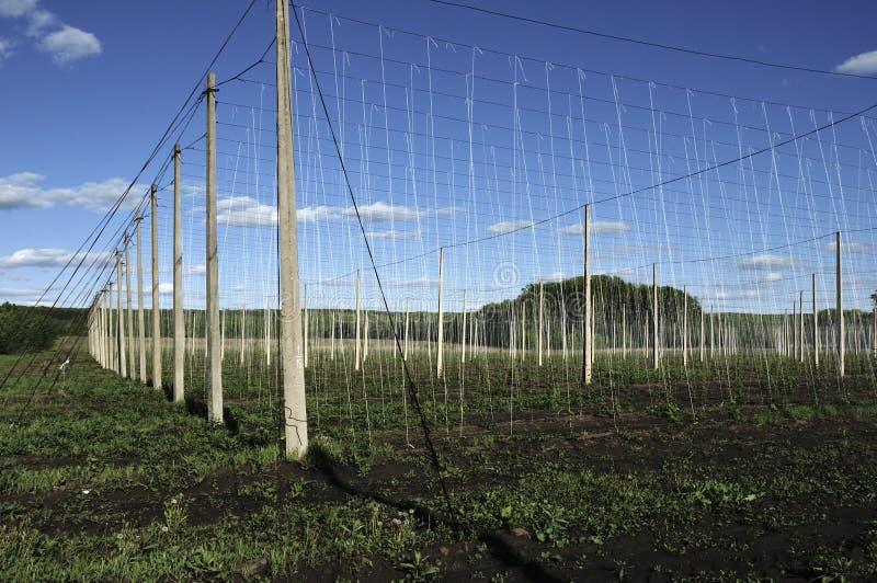 Pianta del luppolo che cresce su un'azienda agricola del luppolo Luppolo fresco e maturo in primavera Ingrediente di produzione d fotografia stock libera da diritti